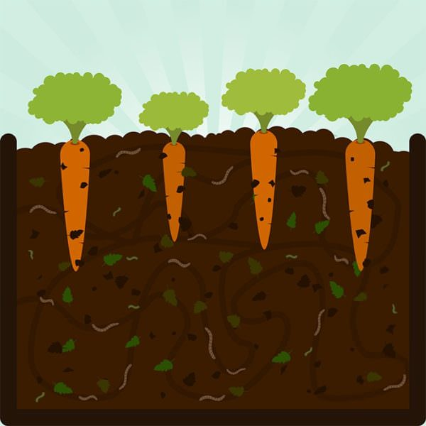 Planting carrots. Composting process with organic matter, microorganisms and earthworms. Fallen leaves on the ground.