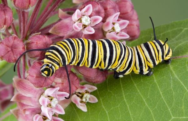 Monarch caterpillar crawling on flowering milkweed