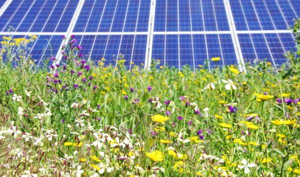 wildflowers in front of solar panels