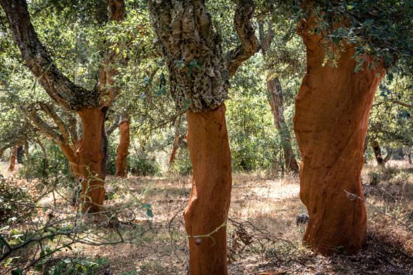 cork trees, bark recently harvested