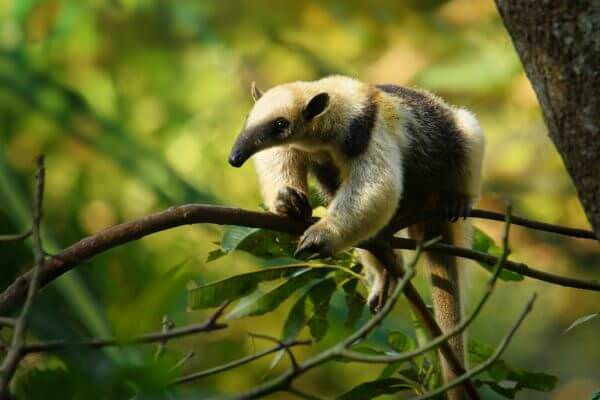 Norther Tamandua, Central American mammal